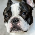 Check out photos of DC and Maggie the most awesome Boston Terrier!